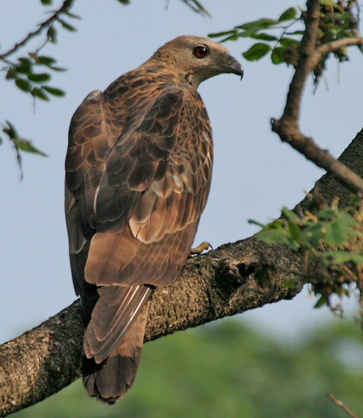 Oriental_Honey-buzzard_(Pernis_ptilorhynchus)-_Male_at_Kolkata_I_IMG_7451