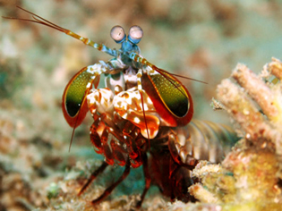 Now_Scientists_Are_Studying_The_Amazing_Peacock_Mantis_Shrimp_To_Build_Super_Military_Body_Armor