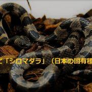 シロマダラ 値段 価格 飼い方 幼蛇