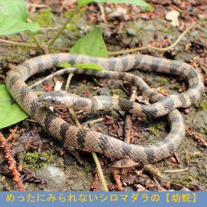 シロマダラ 幼蛇