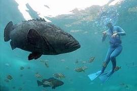ゴリアテグルーパーが見れる日本の水族館はどこ?料理次第でおいしい味に変わる?