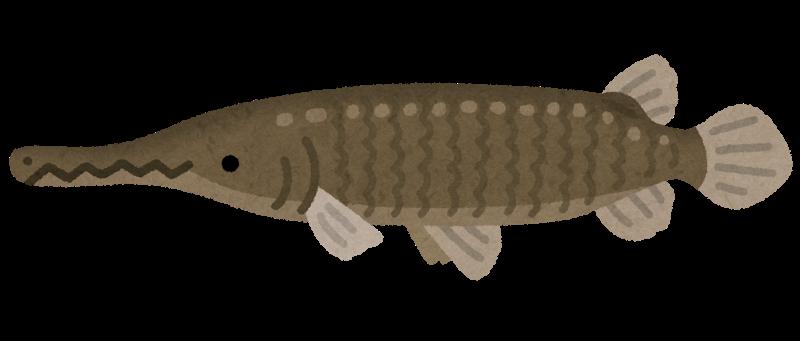 アリゲーターガーの生息地や寿命は?日本で釣れる場所と捕獲後はさばいて食べれる?