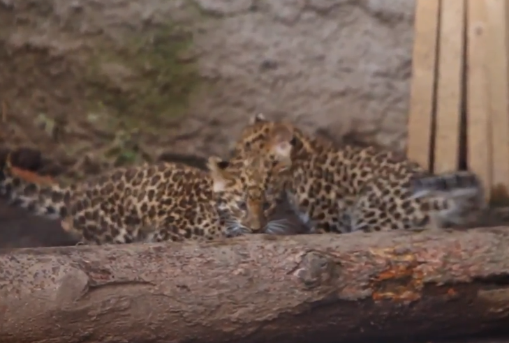アムールヒョウが見れる日本の動物園はどこ?生息地や個体数が減少して絶滅寸前?