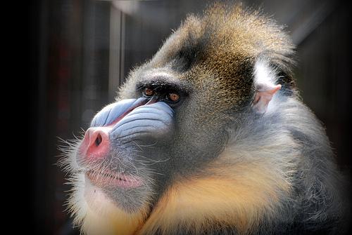 マンドリルの生態や威嚇行動などの特徴を調査!日本で見れる動物園まとめ!