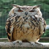 250px-Bengalese_Eagle_Owl