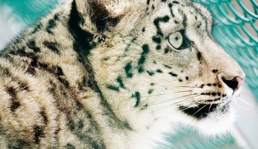 ユキヒョウの赤ちゃんがいる日本の動物園はどこ?名前の由来や特徴とは?